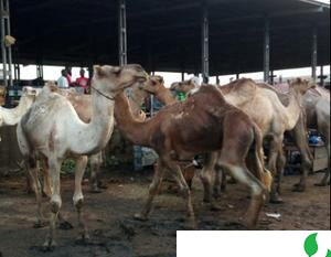 The Best Healthy Cow And Camel At Affordable Price