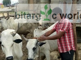 Cattle For Sales In Your Preferred Location