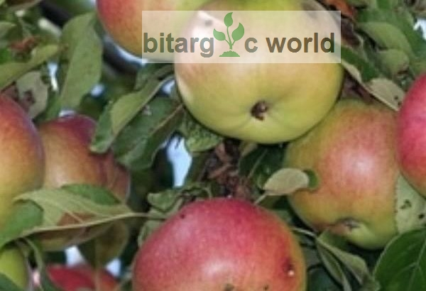 Apple Seedlings Are Now Available In Nigeria