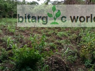 Sale Of Cassava And Stems On 2 Acres Of Land At Odeda