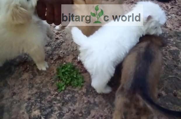 Lhasa Dog Dfrent Colords