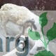 6months Old Lamb/Matured Ram For Sale