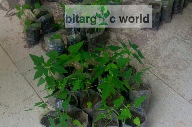 Hybrid Pawpaw Seeds And Seedlings Are Available