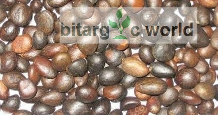 Palm Kernel Nuts For Sale