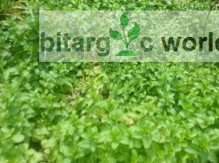 Fresh Mint Leaves And Plant Available