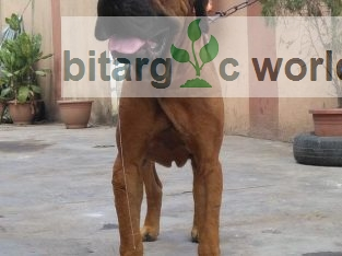 Boerboel Available For Stud
