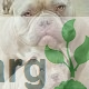 Neopolithan Mastiff for Sale