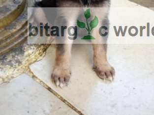 Conc-asseential English Dog For Sale