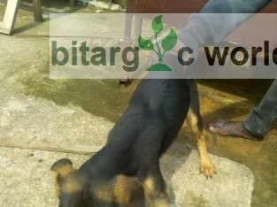 Available Mixed Breed Gsd