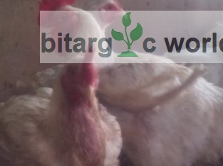 3months Old Broilers For Quick Sale
