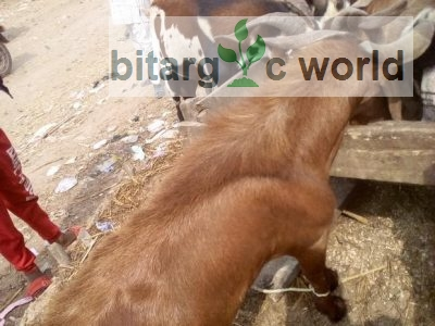 Big Goats At Lagos. For Sale