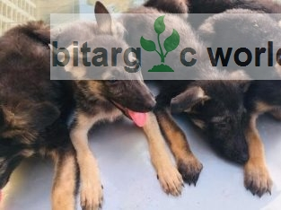 Male And Female Alsatian Pups For Sale