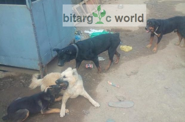 Adult Male Caucasian And Rotweiller Available For Stud/Crossing Servic