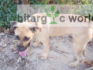 Male Boerboel Available For Stud