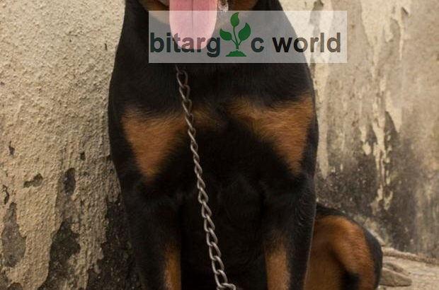 1 Year Old Rottweiler Male