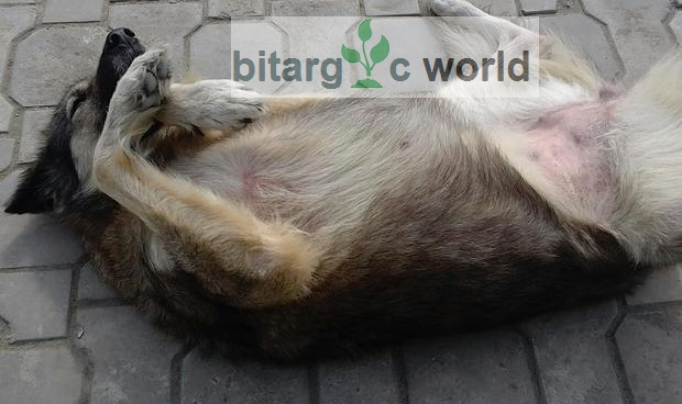 A Female Alsatian Dog for Sale We Are Relocating Abroad Soonest .
