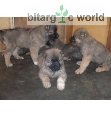 10 Weeks Caucasian Puppies For Sale