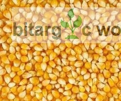 Maize Seeds For Planting