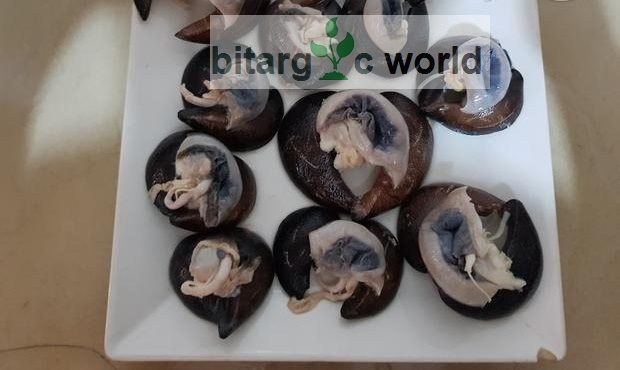Snails, King Size, Peppered Snails, Cleaned Snails Available.