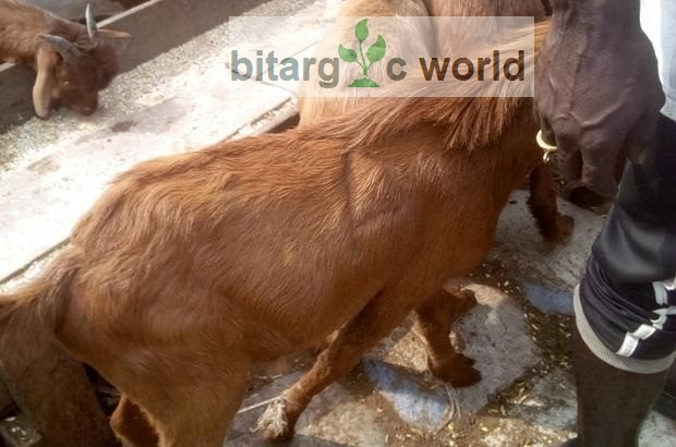 Big Goats For Sale At Good Price