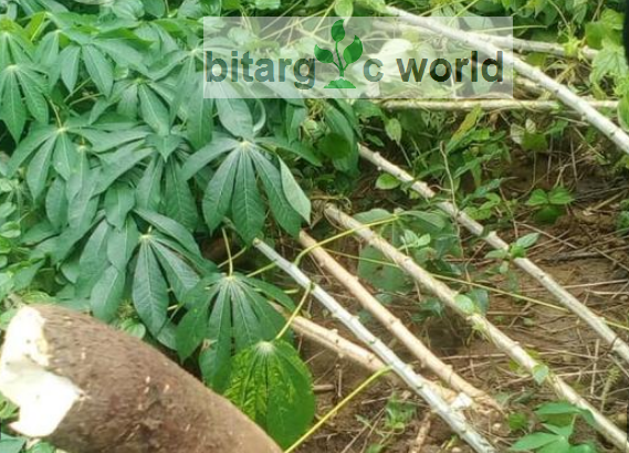 Raw Cassava Tubers In Large Quantity Is Ready And Available For Sale