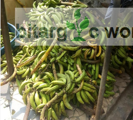 Plantain Available