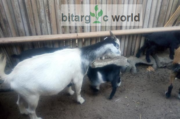 Male And Female Goats