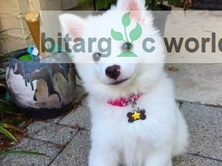 Adorable Male and Female Fluffy Samoyed Puppies