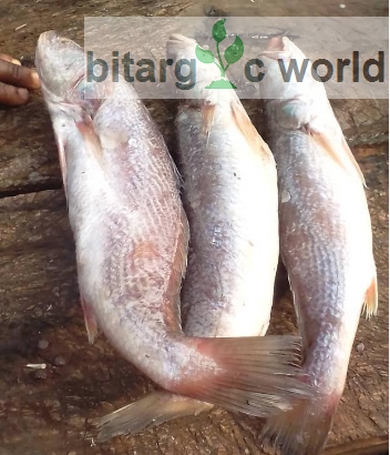 Fresh Croaker Fish… Sea Food, Frozen Food And Snails