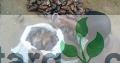 African Giant Snails Supplier