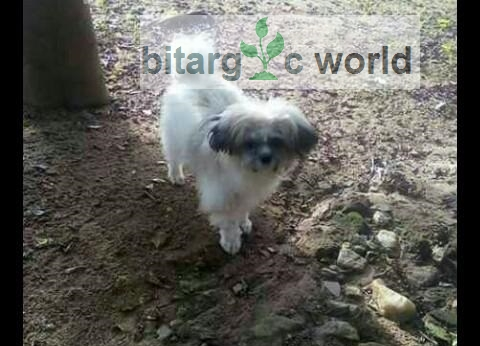 Cross Your Female Lhasa Apso With A Good Pure Breed Male