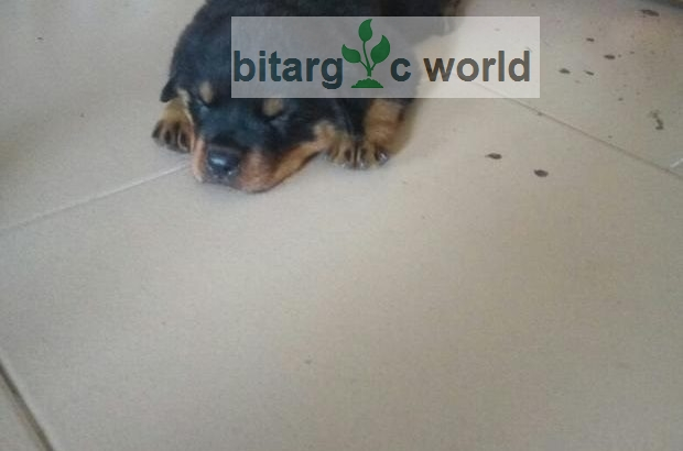 Security Dog- Boxhead Rottweiler Puppy