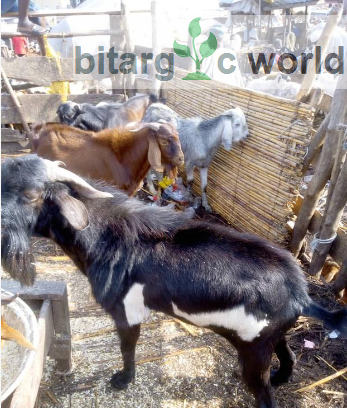 Extra Large Black/White Goat For Sale