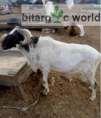 Healthy Ram For Sale – Very Affordable