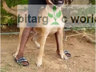 Boerboel cross adult male available