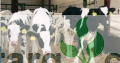 Hybrid cows for sale.