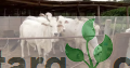 Mature cows for sale